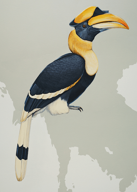 Great Hornbill_casarblog